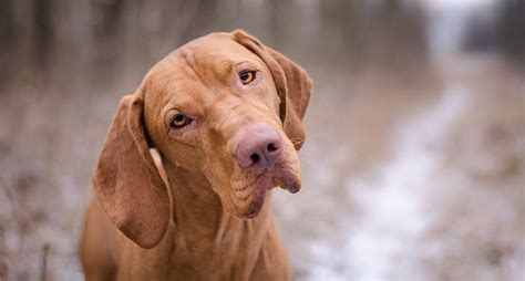 Vizslas: Everything You Need to Know About the Dog Breed