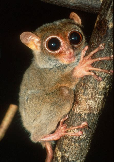 David Haring Photography | Other prosimians: tarsiers