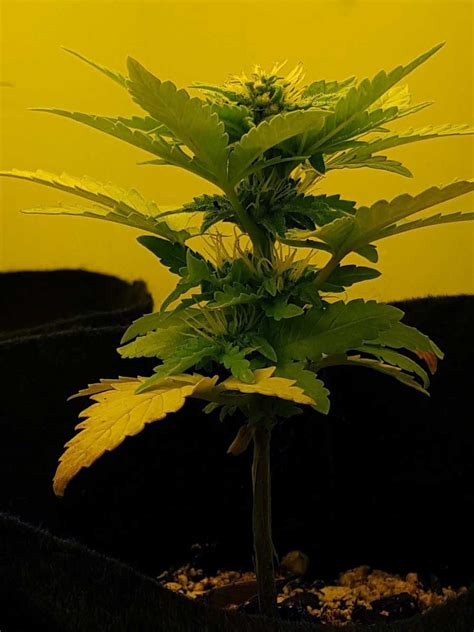 Auto-Flowering Training for Bigger Yields   Grow Weed Easy