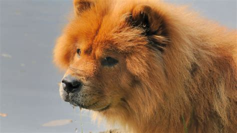 11 Fluffy Facts About Chow Chows | Mental Floss