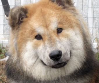 Max Bear, the Chow / Collie mix