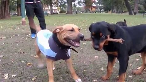 American Staffordshire Terrier Vs
