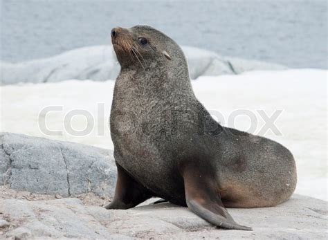 Male fur seal sitting on a rock on the